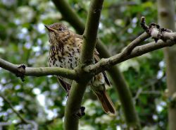 Young songthrush....turdus philomelos