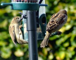 House sparrows...passer domesticus