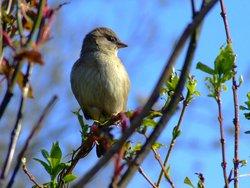 Hen house sparrow....passer domesticus
