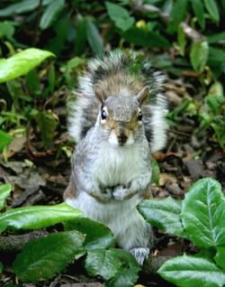 Grey Squirrel in Saltwell Park, Gateshead.