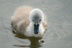 Mute Swan Cygnet.