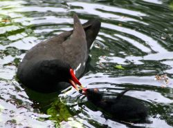 Moorhen feeding chick on the lake at Wallington Hall.