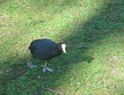 A Coot in St. James's Park.