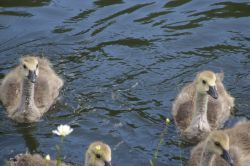Goslings on the Dudley Canal