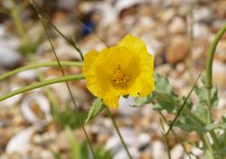 Yellow Horned Poppy, Pagham Spit, Pagham, West Sussex