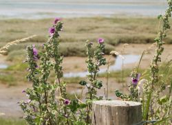 Tree Mallow, Pagham Spit Nature Reserve, Pagham, West Sussex