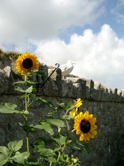 Sunflowers and seagull