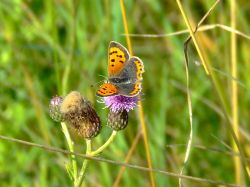 Small copper butterfly....lycaena phlaeas