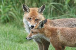 Foxes in the New Forest Wallpaper