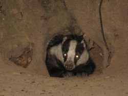 Badger in the New Forest
