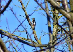 Great spotted woodpecker....dendrocopus major