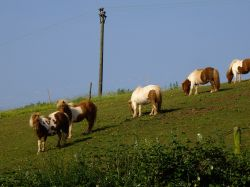 Shetland ponies at Malborough