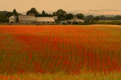 Field of Dreams (Poppies)