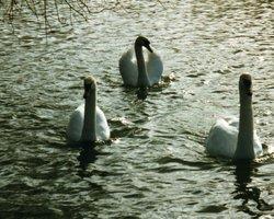 Swans Grace