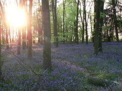 Sun setting in the bluebell wood