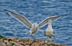 A Herring Gull greets it returning mate.