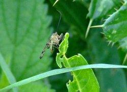 Scorpion fly.....panorpa communis