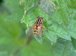 Hoverfly.....heliophilus trivittatus