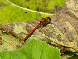 Common darter dragonfly......sympetrum striolatum Wallpaper