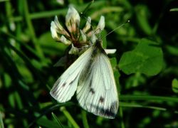 Large white butterfly (female).......pieris brassicae