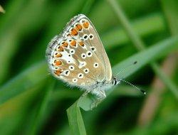 Brown Argus.......aricia agestis (female) Wallpaper