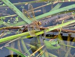 Brown hawker dragonfly (female).....aeshna grandis Wallpaper