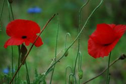 Poppies at Godolphin
