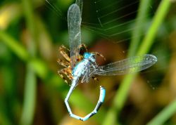 Spider and damselfly 6