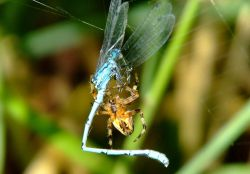 Spider and damselfly 9