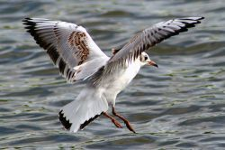 Blackhead Gull Juvenile