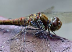 Common darter dragonfly......sympetrum striolatum