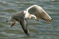 Blackheaded Gull juvenile at Herrington Ponds