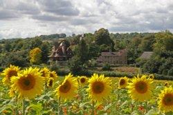 Sunflower Fields at Luddesdown