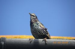 Starling on the look out for something to eat