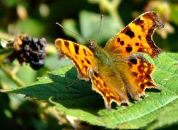 Comma butterfly......polygonia c-album