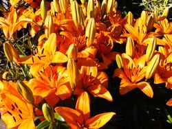 Lillies for Sale.