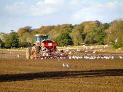 Tractor being followed by seagulls