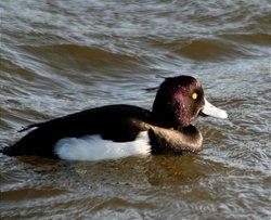 Tuffed Duck.