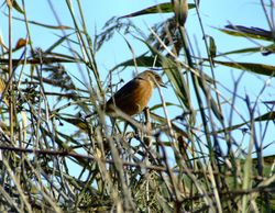 The stonechat revisited