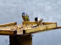 Blue tit....parus caeruleus (left) and marsh tit....parus palustris (right)