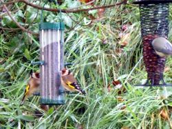 Goldfinches for Ray