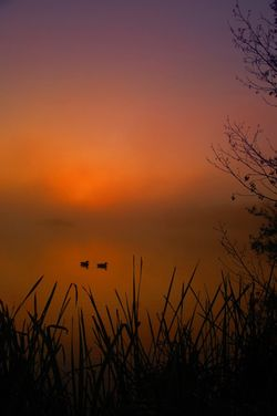 Ducks in the mist