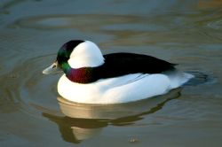 Bufflehead Duck male