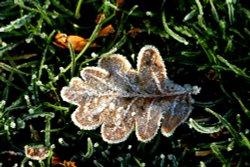 Frosty leaf at Nidd.