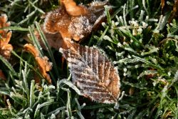 Frosty Beech Leaf at Nidd.