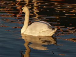 Swan on the Oxford canal, Aynho wharf, Aynho, Northants