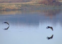 Cormorants....phalacrocorax carbo