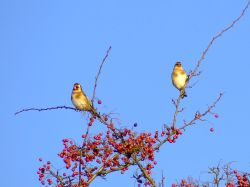 Goldfinches....carduelis carduelis