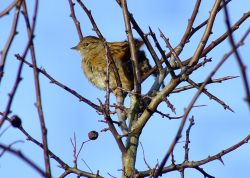 A less than warm dunnock....prunella modularis