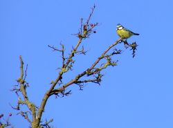 Bluetit....parus caeruleus Wallpaper
